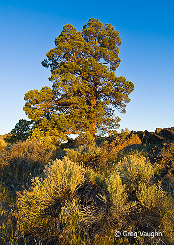 Juniper tree and rabbitbrush, Bend Badlands, Oregon