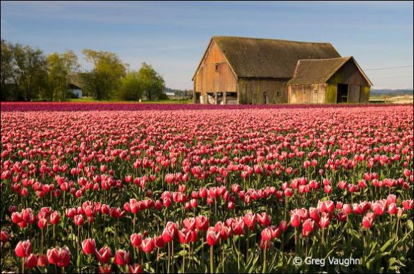Roozengaarde tulip field, Skagit Valley, Washington