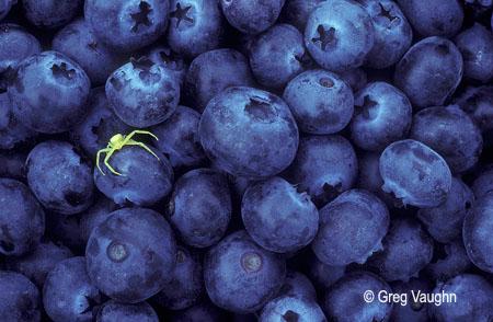 Yellow flower spider on blueberries; Willamette Valley, Oregon