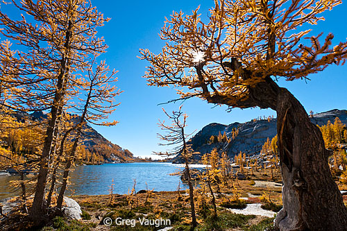 Alpine larch in The Enchantments