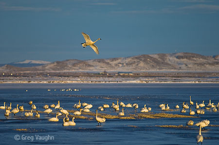 Tundra swans at Klamath National Wildlife Refuge
