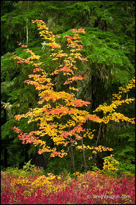 Vine maple and huckleberry
