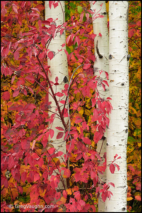 Red-osier dogwood leaves and aspen tree trunks
