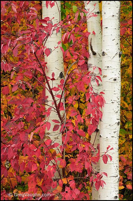Red-osier dogwood leaves and aspen tree trunks